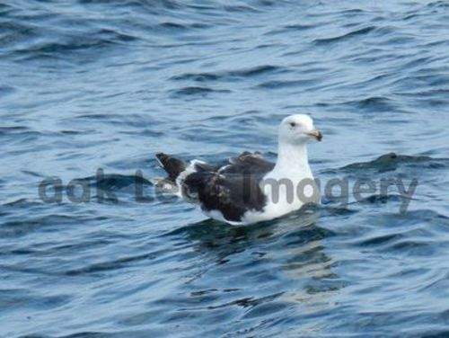 Product picture Seagull Royalty Free Image