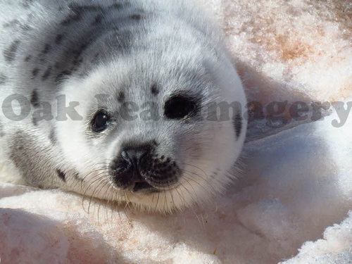 Product picture Baby Seal